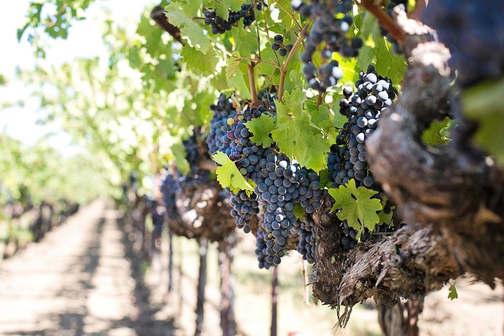 Grapes | © jill111/Pixabay