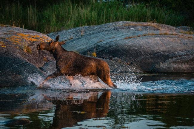helena_wahlman-moose_in_water-4283