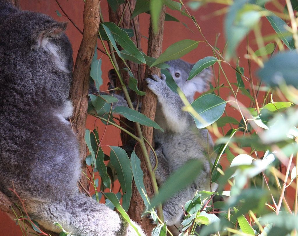 Lone Pine Koala Sanctuary | © Andrew Thomas_Wikimedia Commons