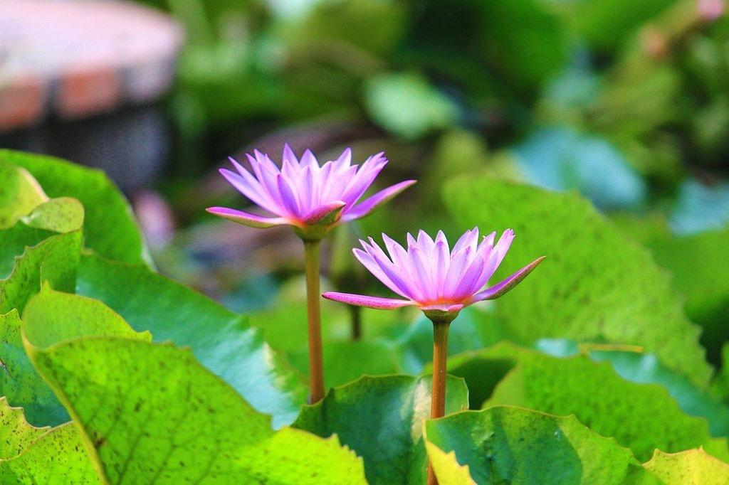 Lotus-garden-of-five-senses