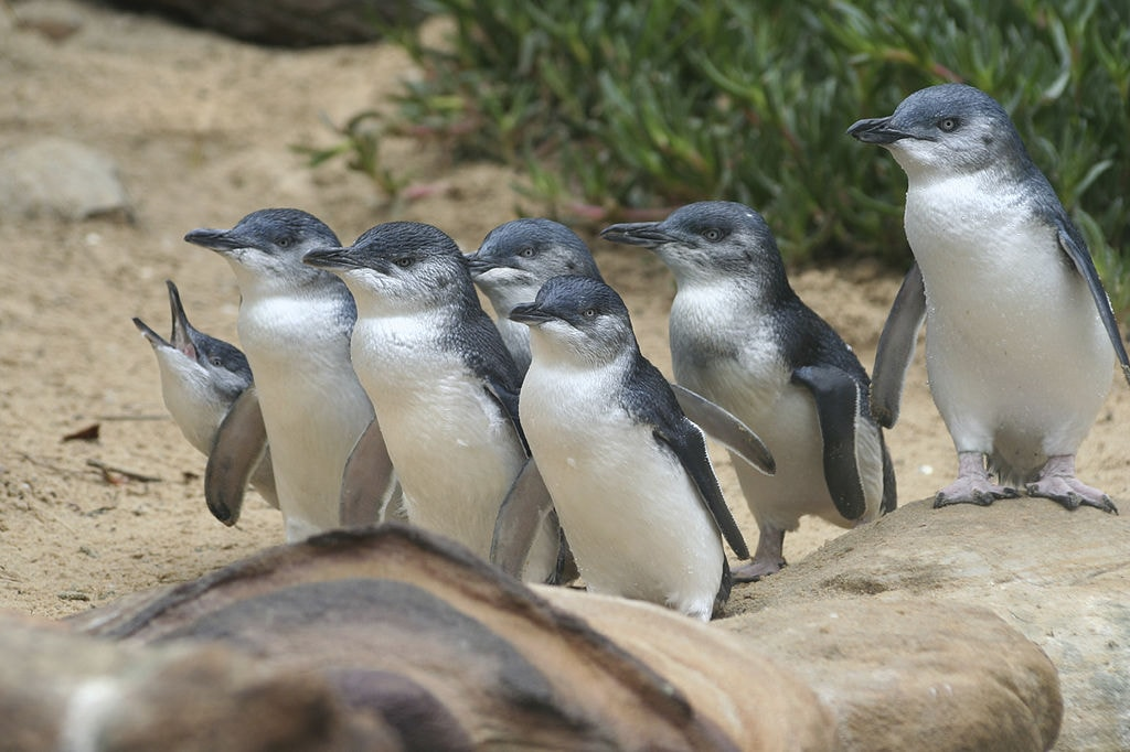 Penguin Parade | © Wildvik_Wikimedia Commons