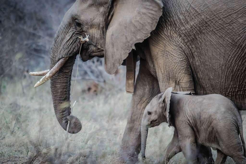 Poaching_elephant and calf walking