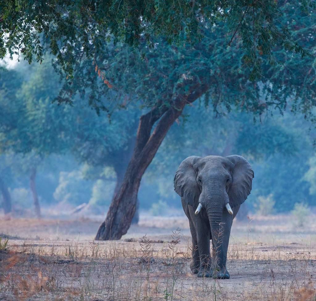 Poaching_large elephant bull