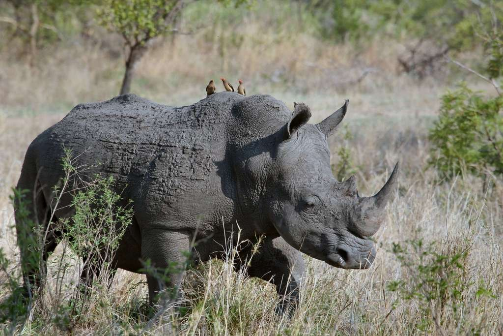 Poaching_rhino covered in mud