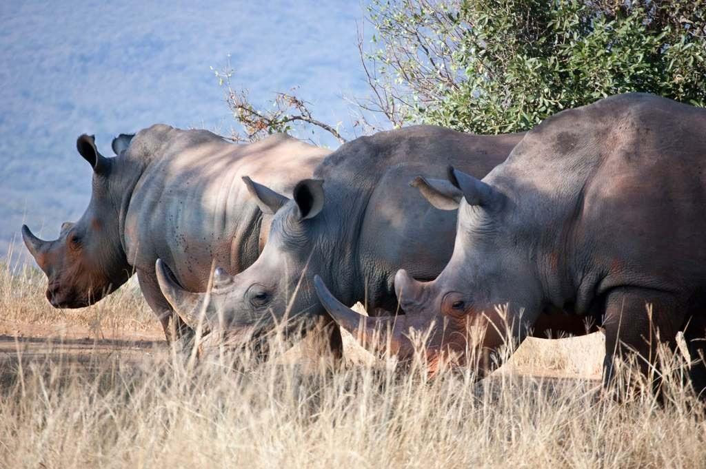 Poaching_three rhinos