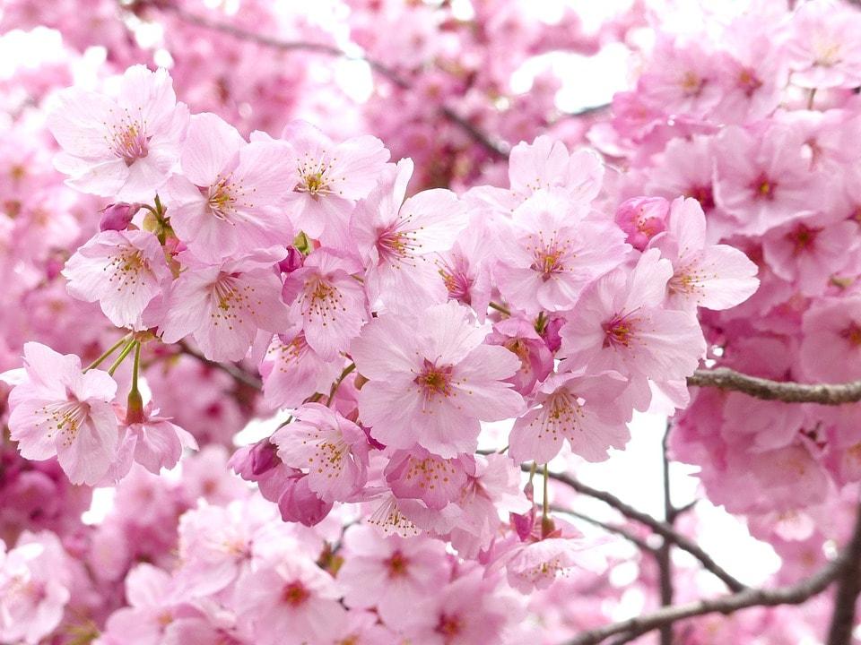 Hanakotoba: The Secret Meanings Behind 9 Flowers in Japan