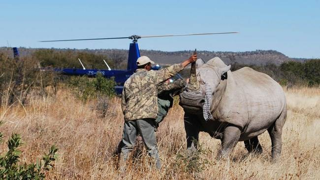 South-Africa's-Endangered-Black-Rhinos-Airlifted-to-Chad_blindfolded-rhino