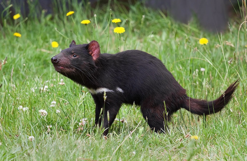 Tasmanian Devil | © JJ Harrison_Wikimedia Commons