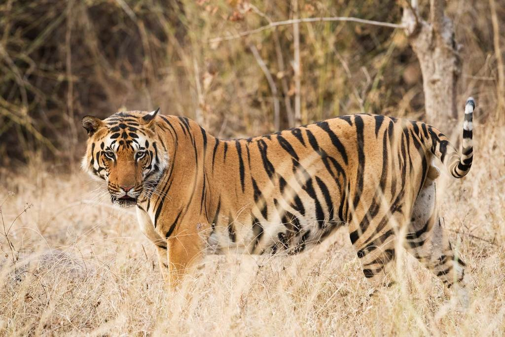 The-Safaris-You-Should-Go-On-that-Aren't-In-Africa_India