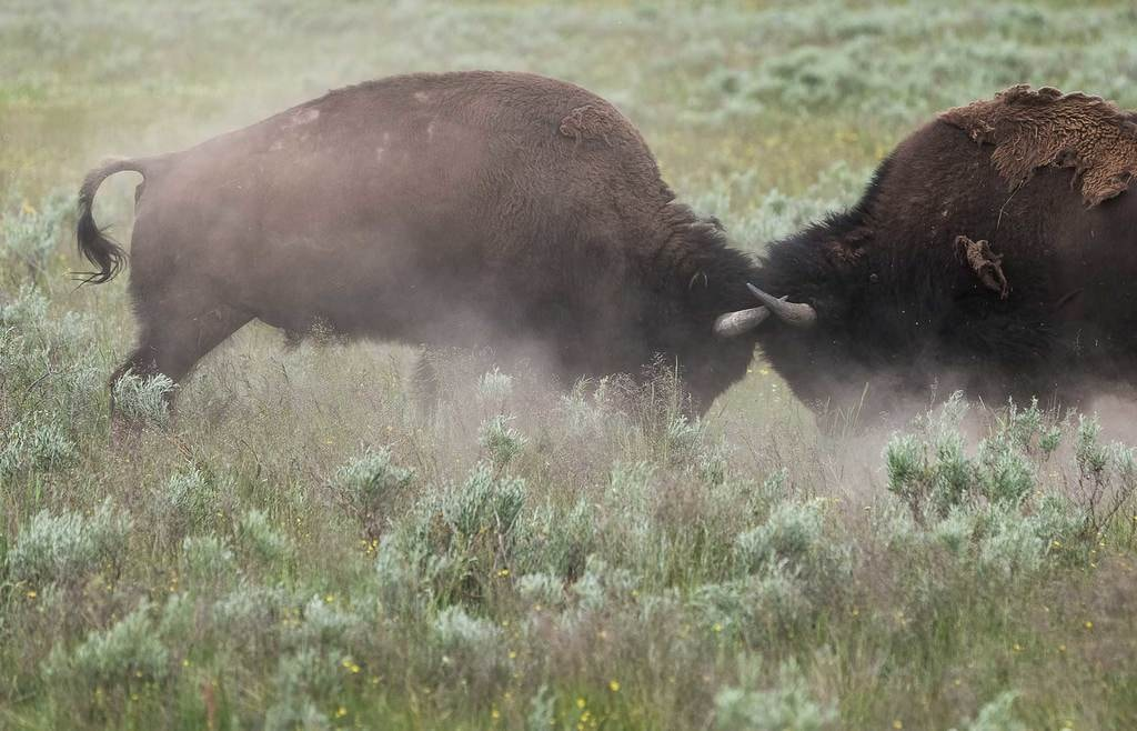 The-Safaris-You-Should-Go-On-that-Aren't-In-Africa_Yellowstone