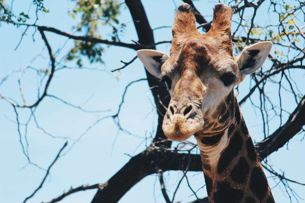 Things tourists should never do in South Africa_giraffe