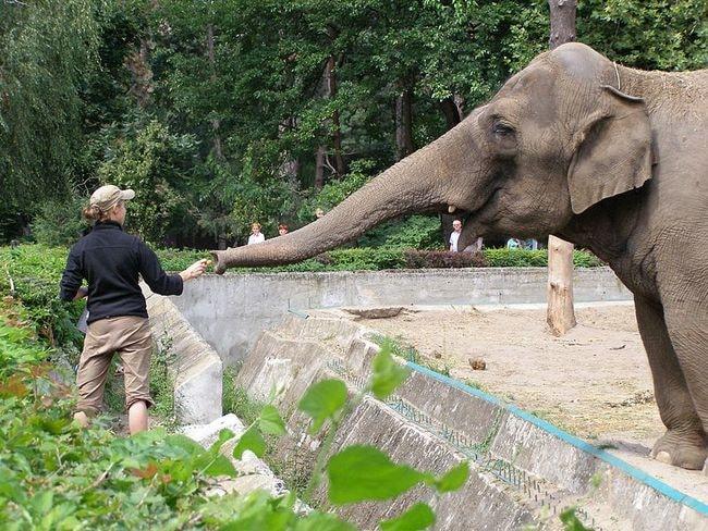 Wroclaw_zoo_12_slon_indyjski