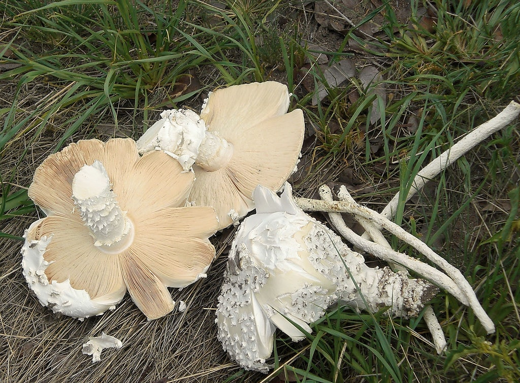Wild omajowa mushrooms