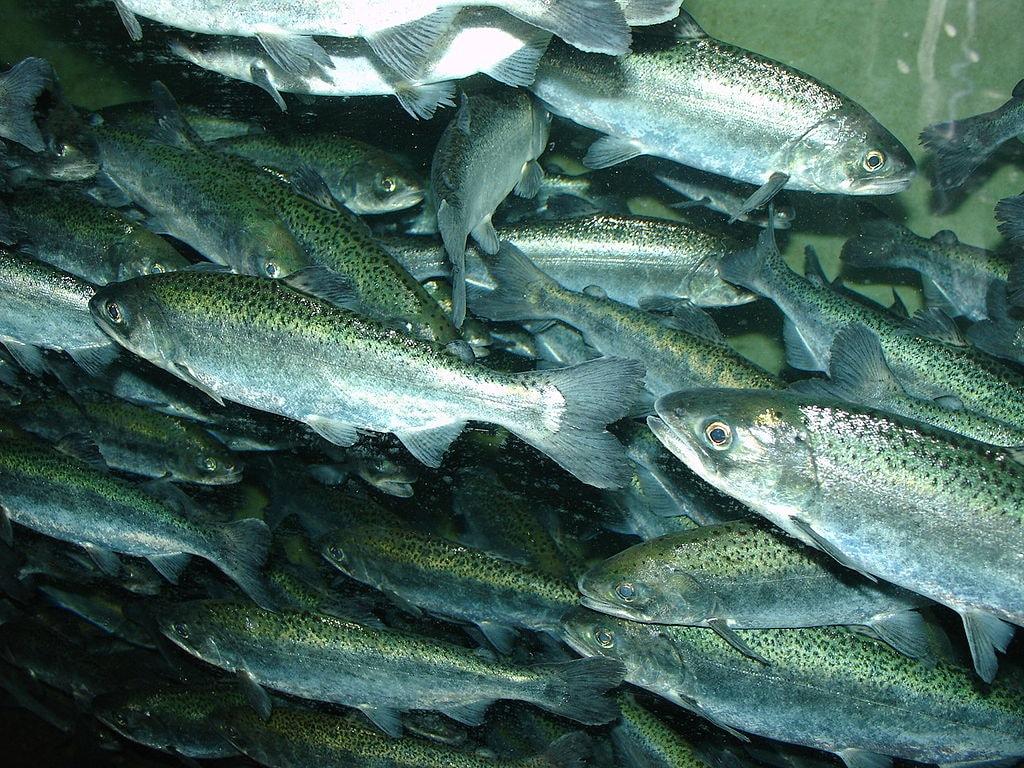 1024px-Chinook_salmon,_Oncorhynchus_tshawytscha