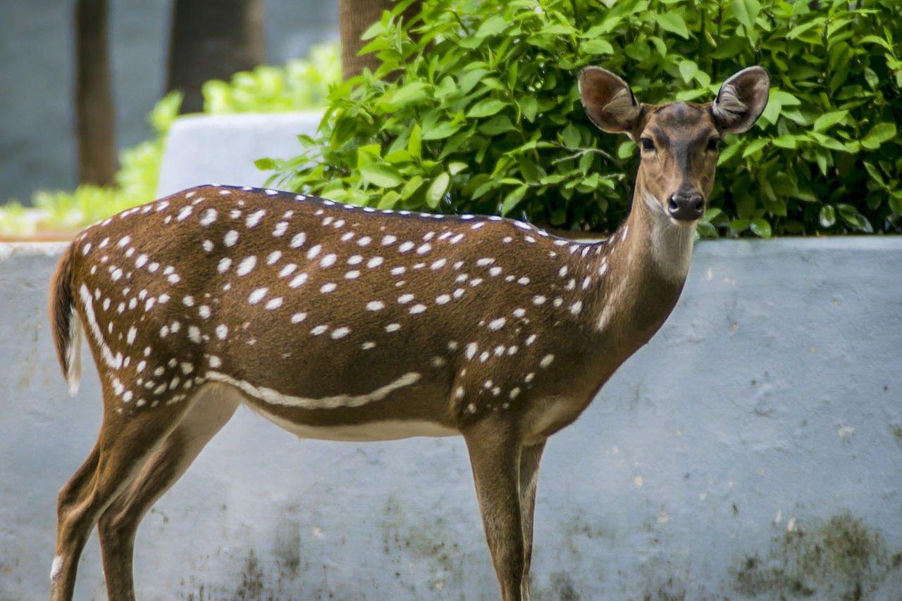 1280px-Deer_at_Guindy_National_Park
