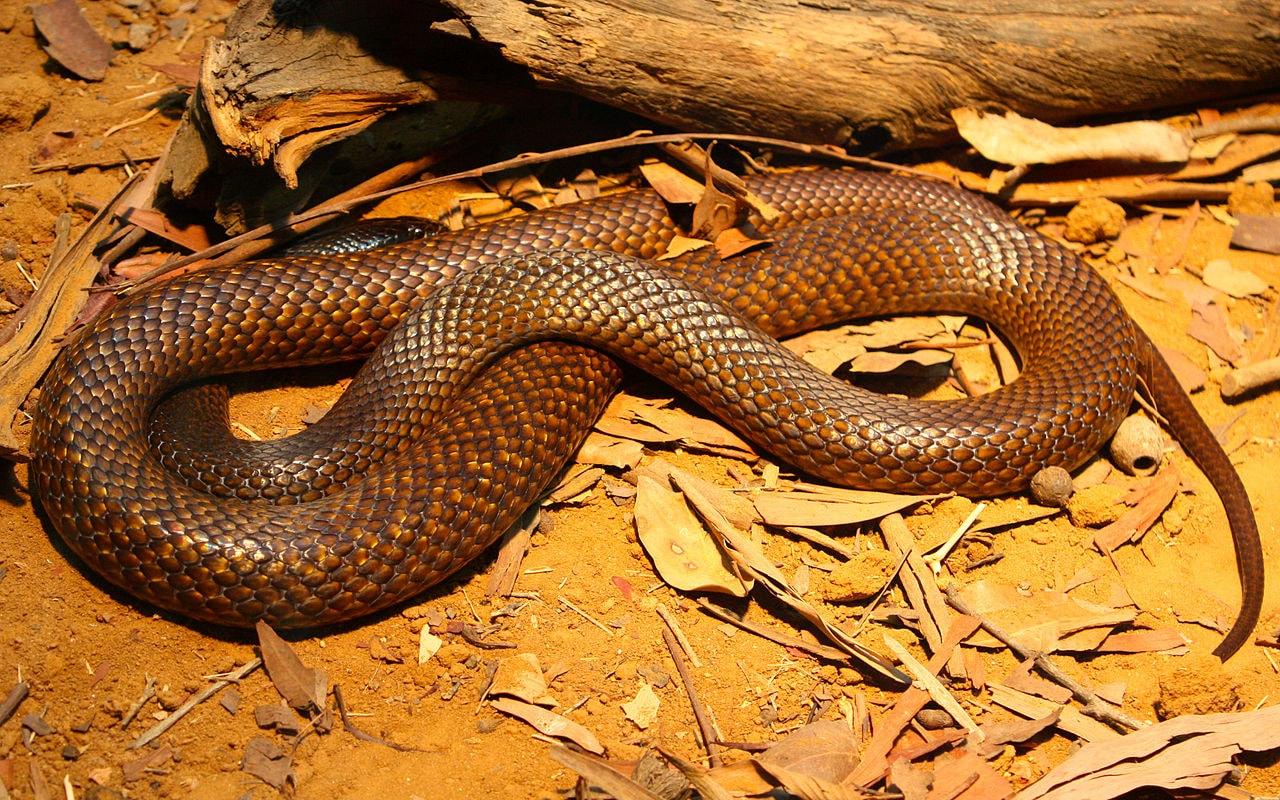 1280px-Western_Brown_snake