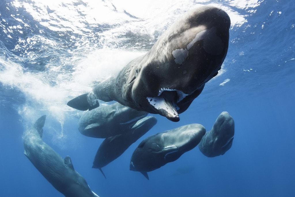 Sperm Whales in BBC's Blue Planet II   © Tony Wu