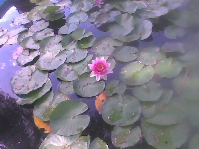 A lilypad