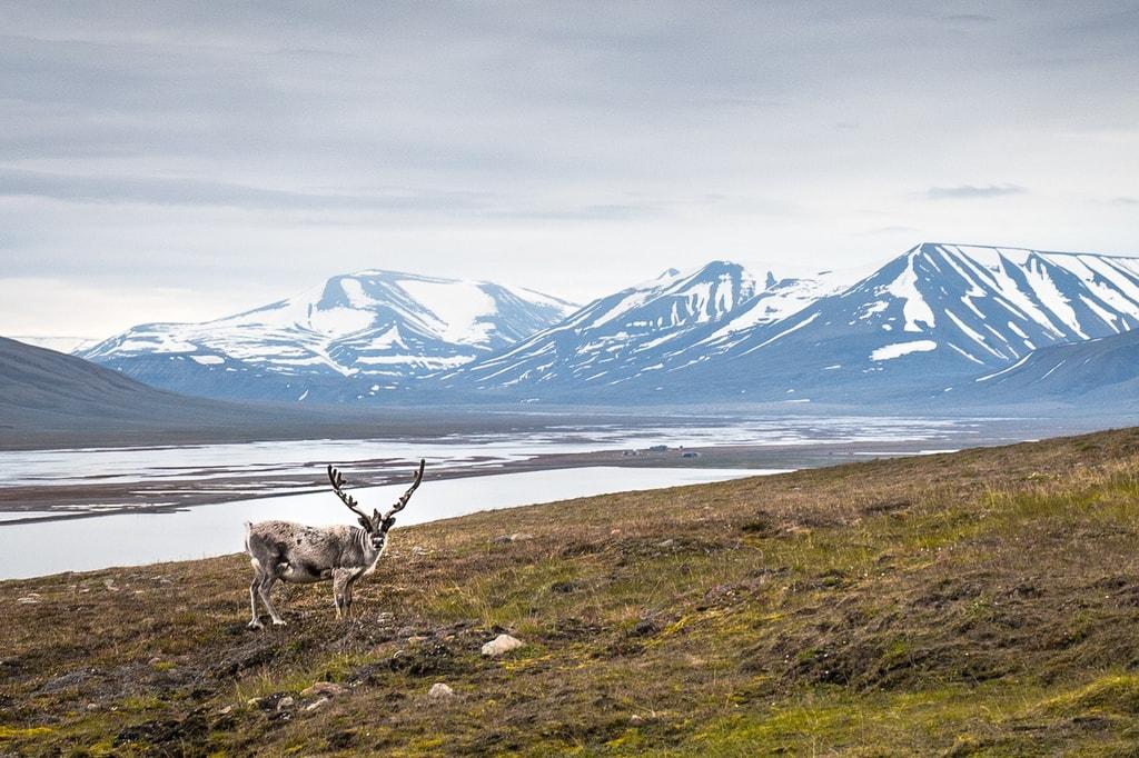 Reindeer   © Frode Ramone / Flickr