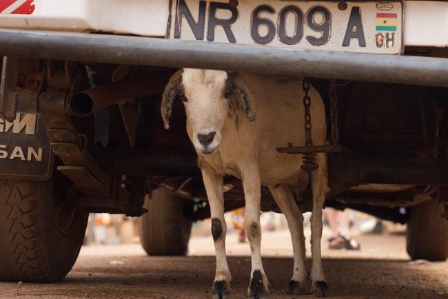 Goat under truck