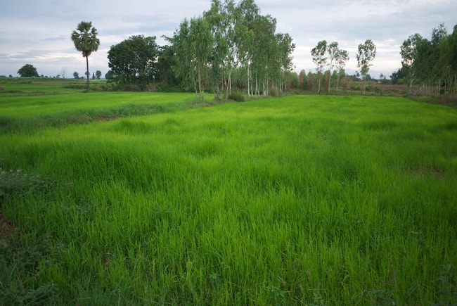 The family rice fields