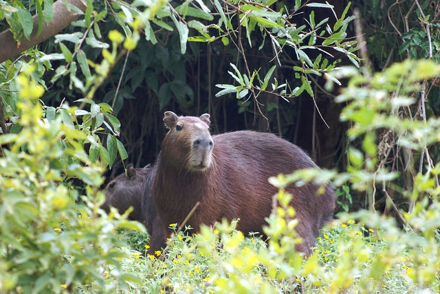 A giant Uruguayan rodent known as Carpincho and similar to the Capybara