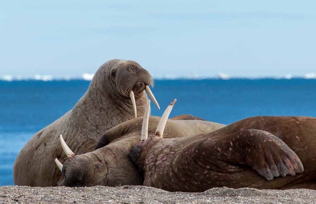 Walrus and friends   © Smudge 9000 / Flickr