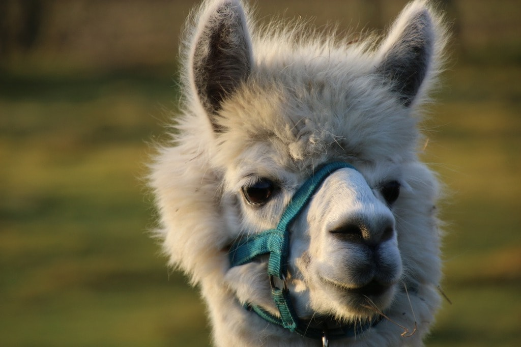 alpaca-1112541_1280