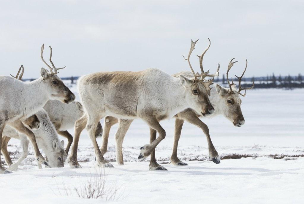 Arctic Haven Wilderness Adventures Nansen Weber