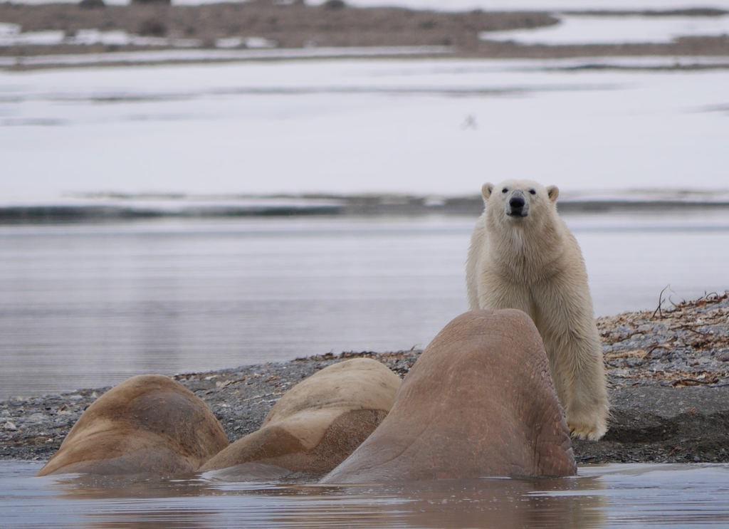 Polar bears in Svalbard   © caterina sanders / Unsplash