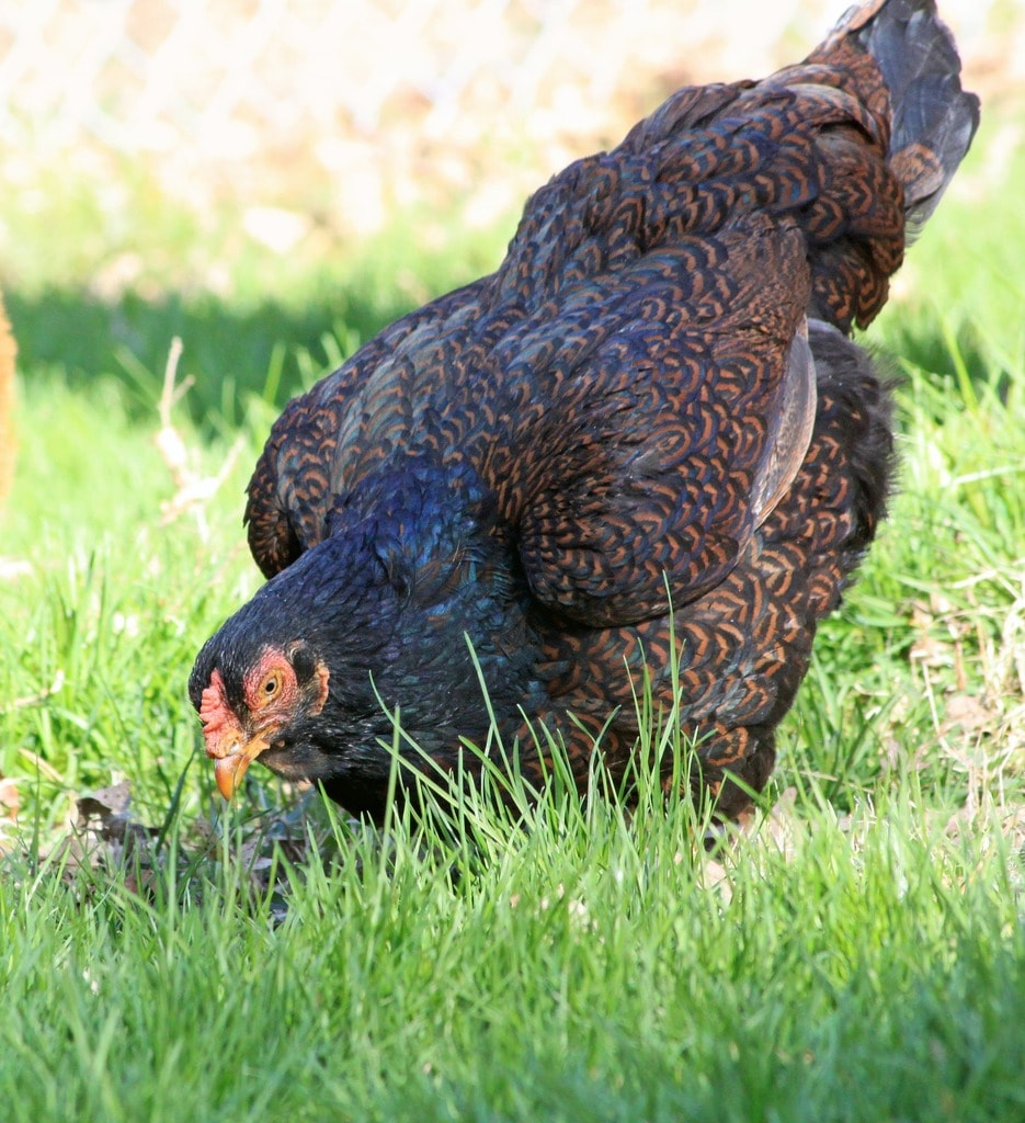 Chicken eating