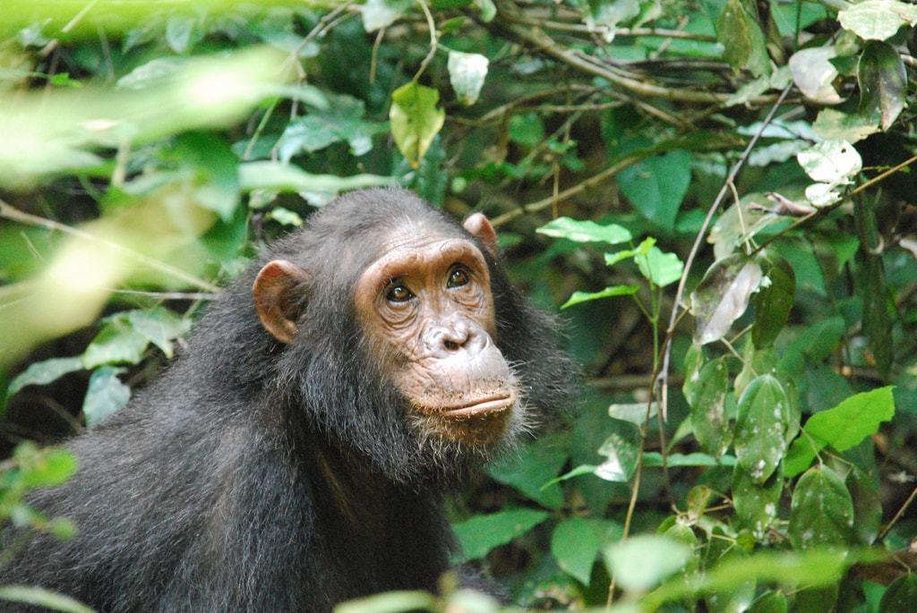 Chimpanzee in Gombe Steam National Park