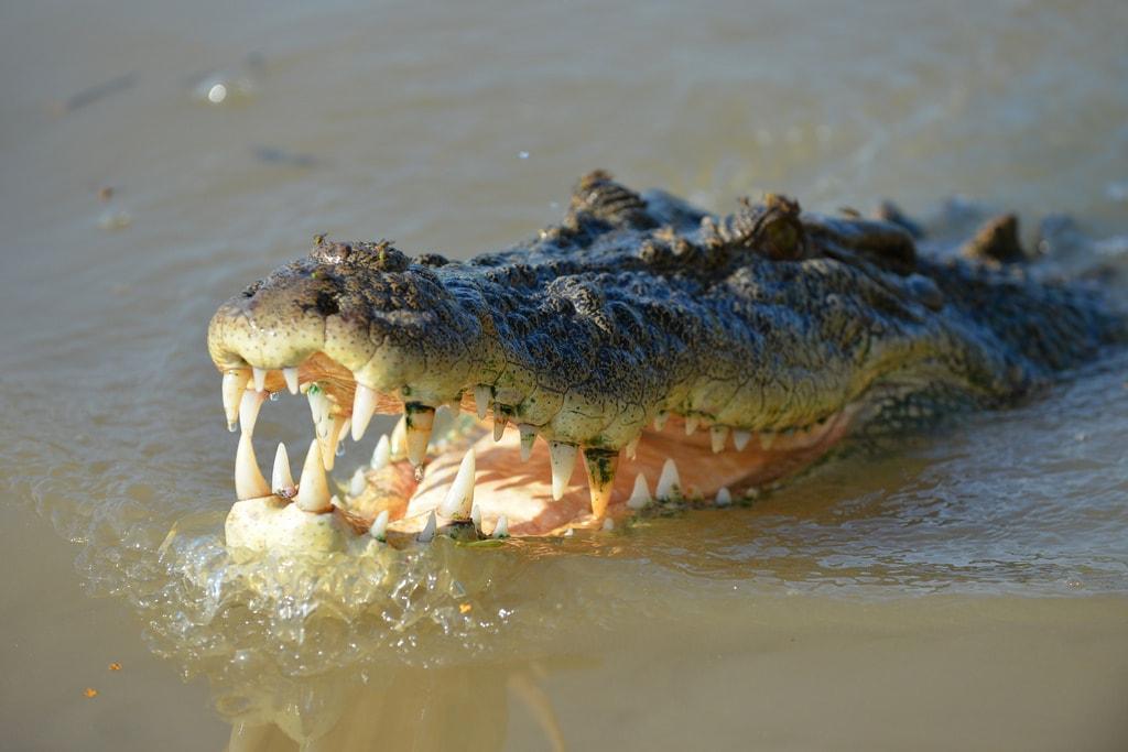 Crocodile | © brianjobson_Flickr