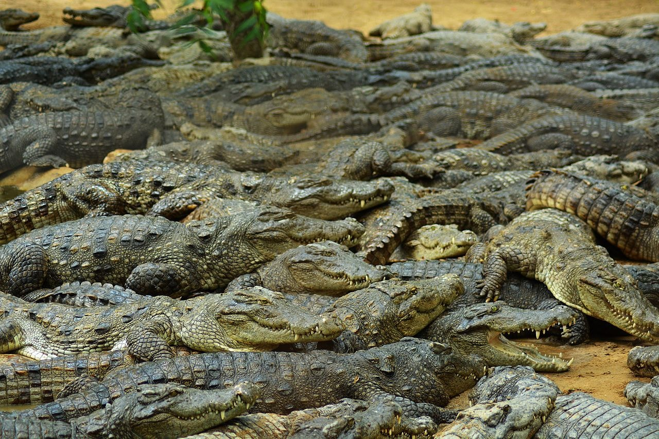 Crocodiles_getting_rest_after_feeding_in_Madras_Crocodile_Bank_Chennai