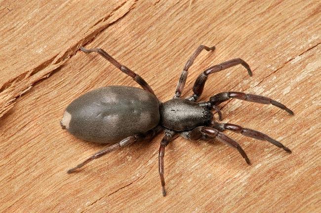 CSIRO_ScienceImage_210_White_tailed_spider