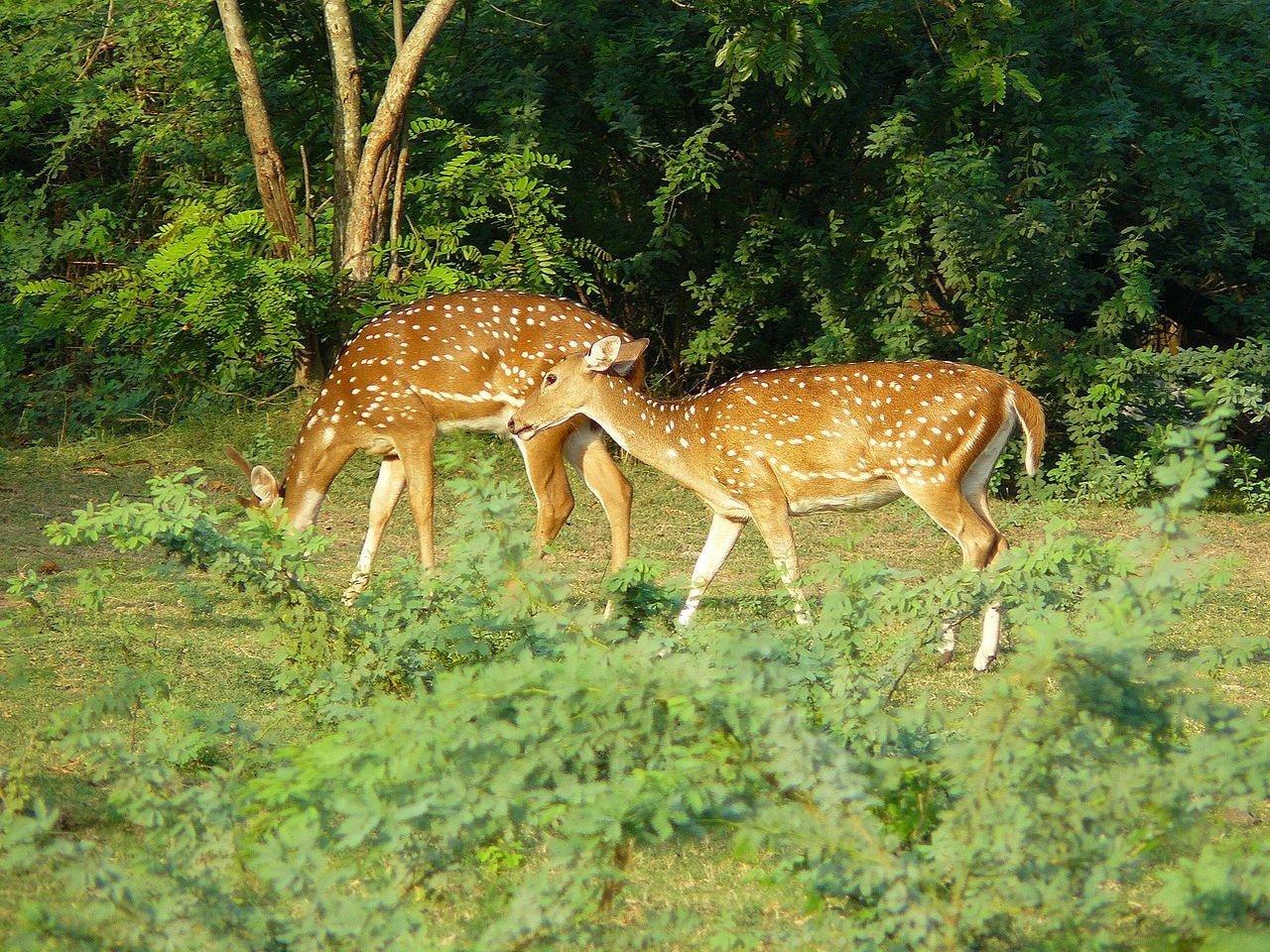 Deer IIT Madras