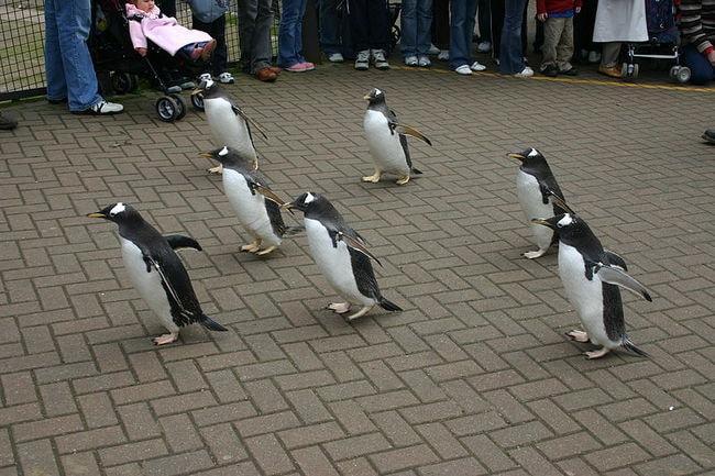 Edinburgh penguins go for a walk | © Tom Page/WikiCommons