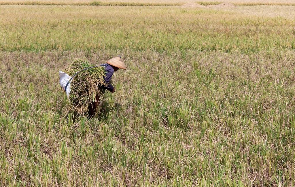 Farmer_harvesting_rice,_Kampung_Rawa_2014-06-20