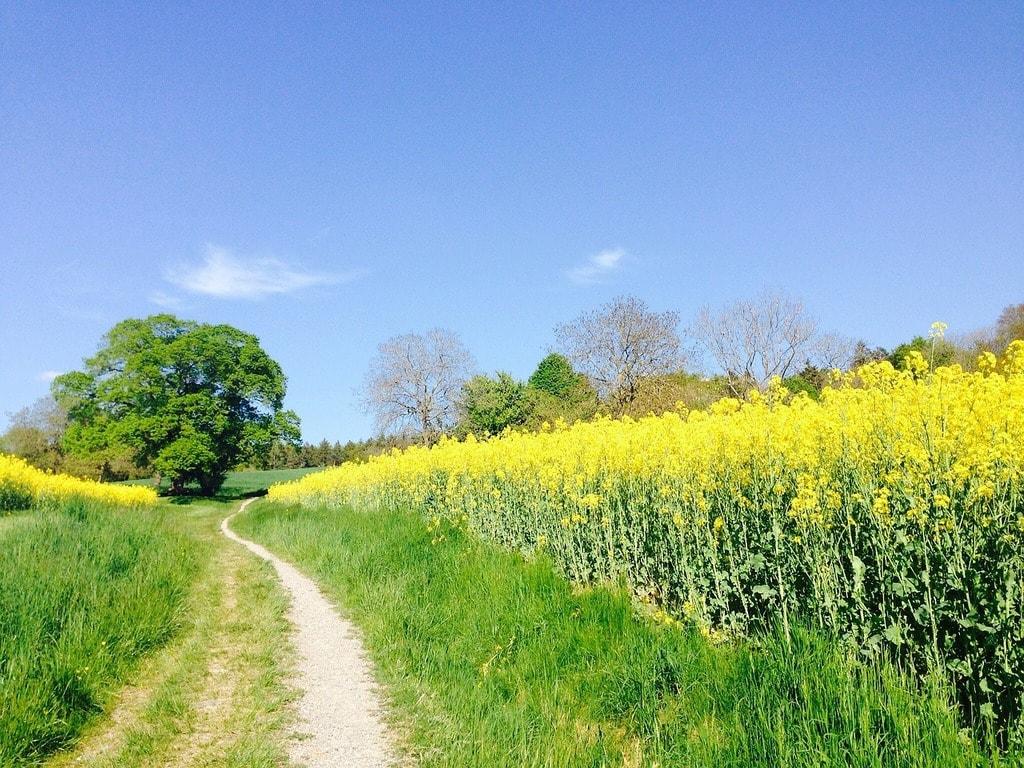 field-of-rapeseeds-331571_1280