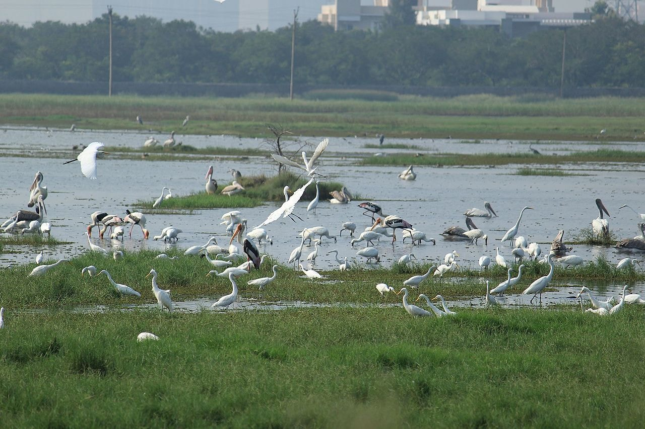 Fishing_of_different_species_of_birds_in_Marshland_Pallikaranai