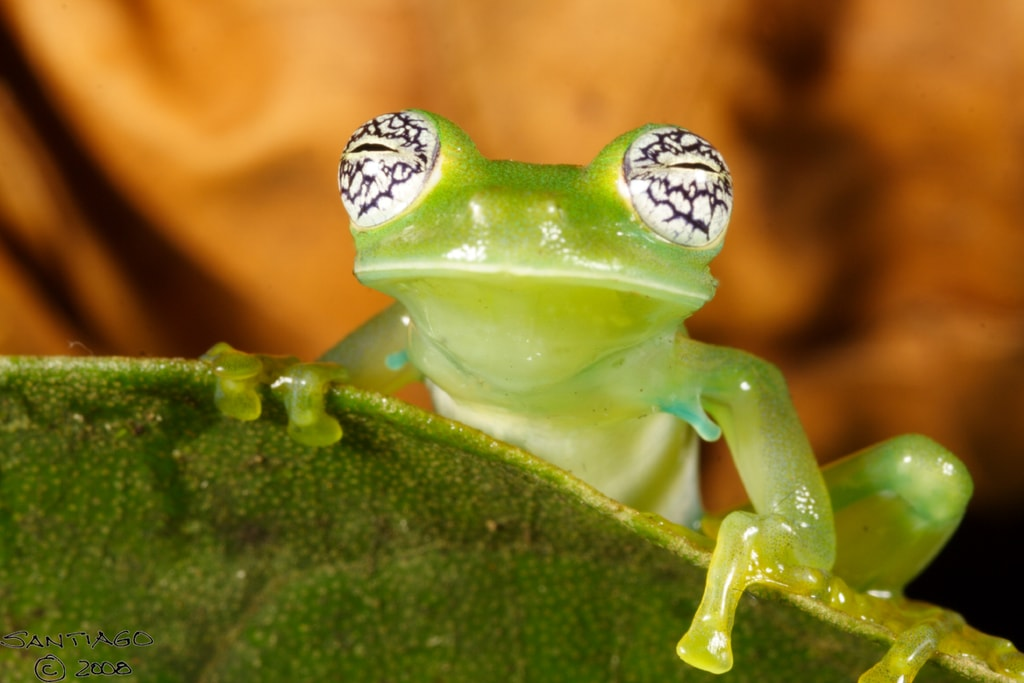 Costa Ricas Rarest Creatures And Where To Find Them - Real life kermit the frog discovered in costa rica
