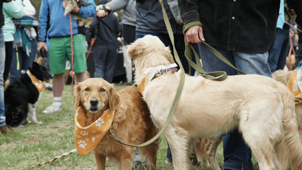 Guiness World Record South Africa_golden retrievers