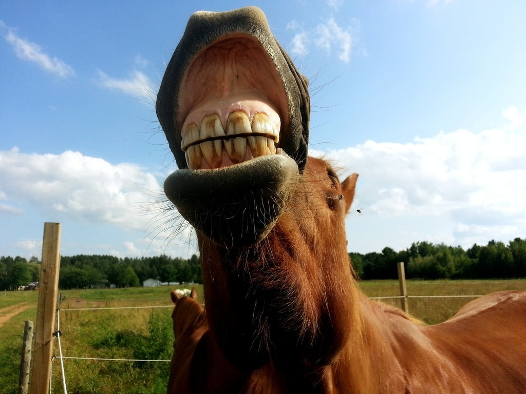 A horse showing its teeth
