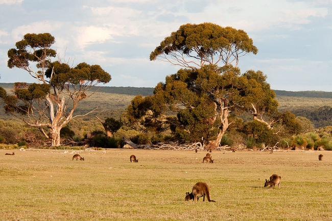Kangaroo_Island_kangaroos