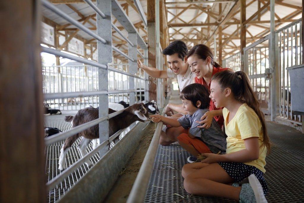 Goat feeding at Hay Dairies Goat Farm Kranji Countryside