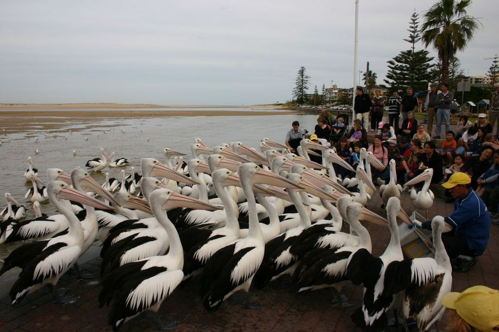 Pelican feeding at the Entrance | © Tirin:Wikimedia Commons