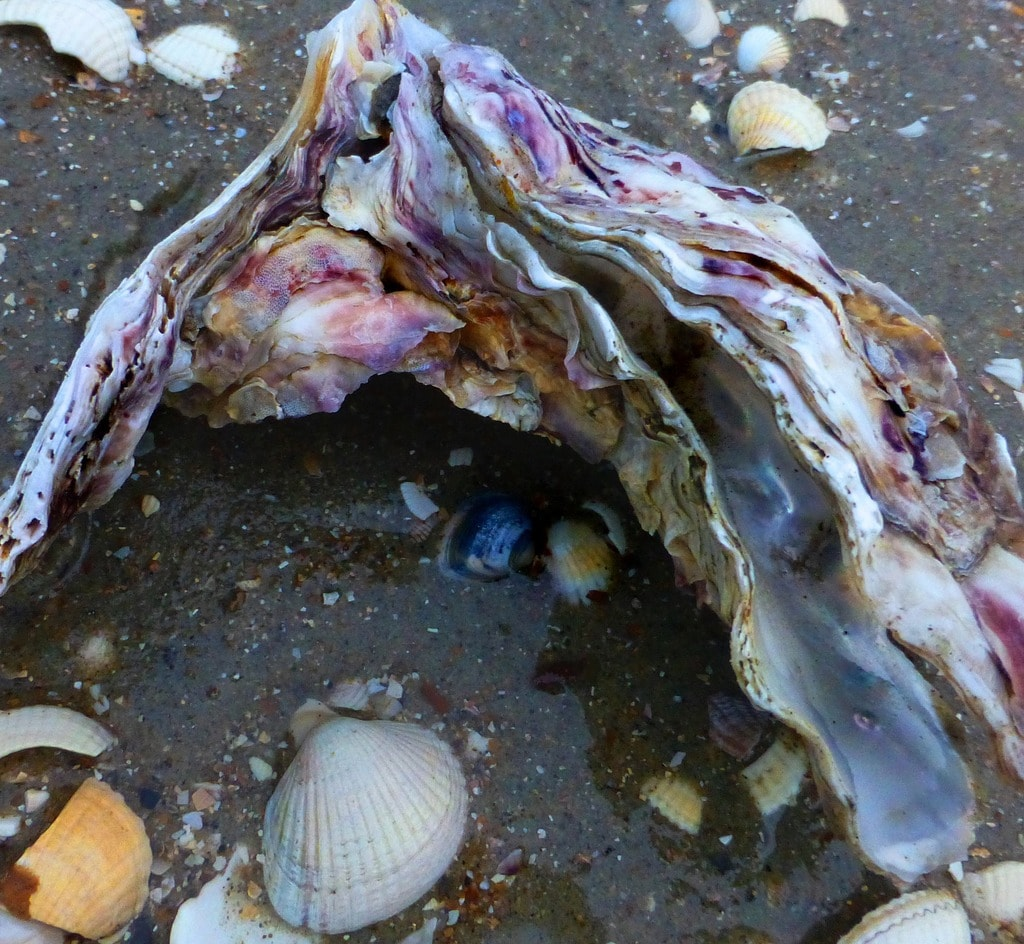 Wild oyster shell