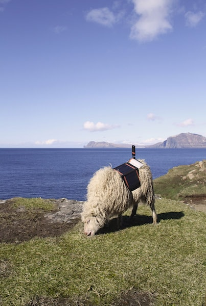 Sheep were equipped with cameras | Courtesy of visitfaroeislands.com