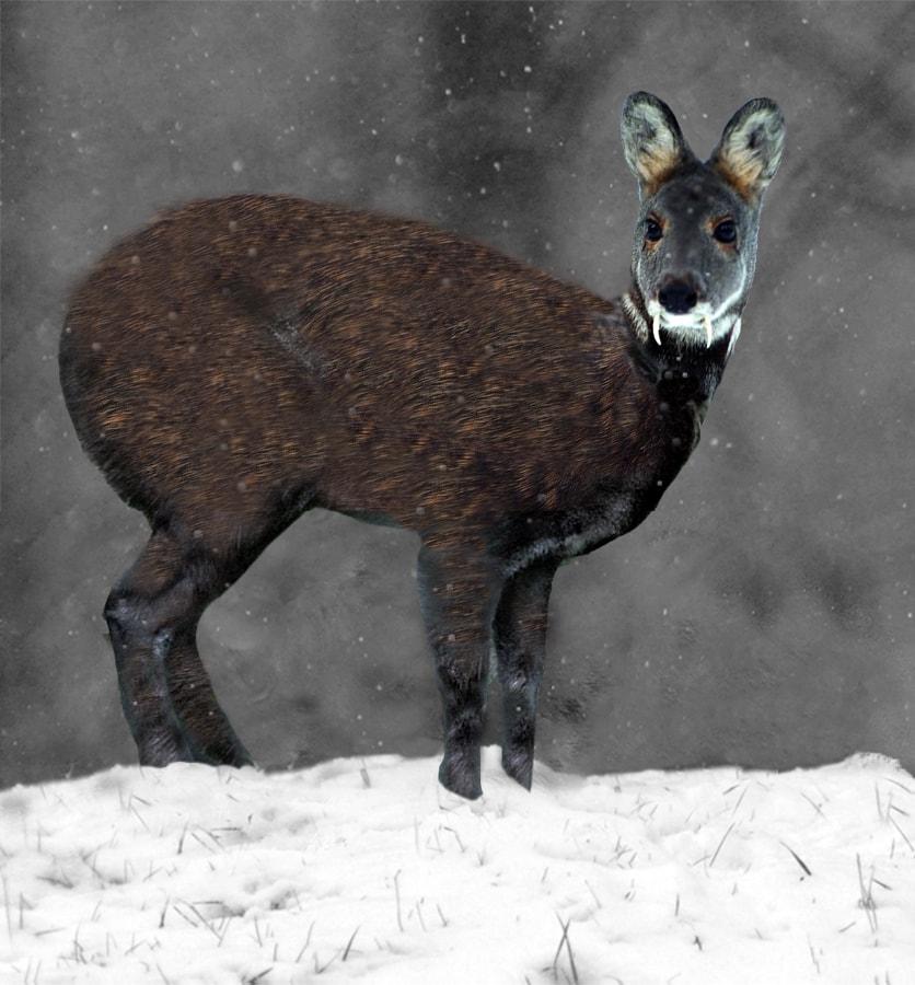 Siberian_Musk_Deer (1)