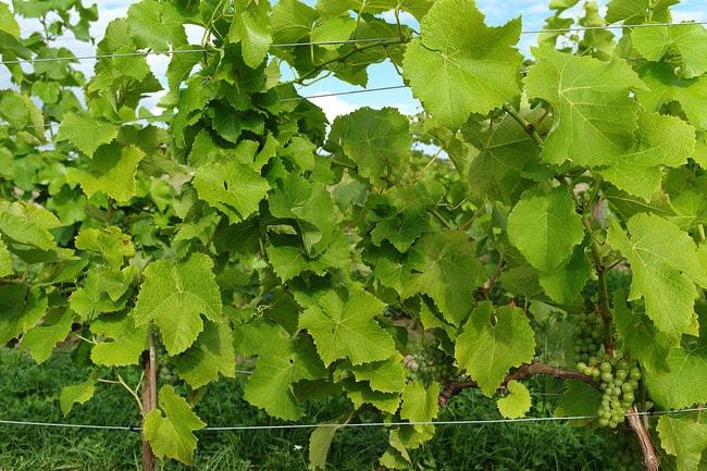 Skåne vineyard